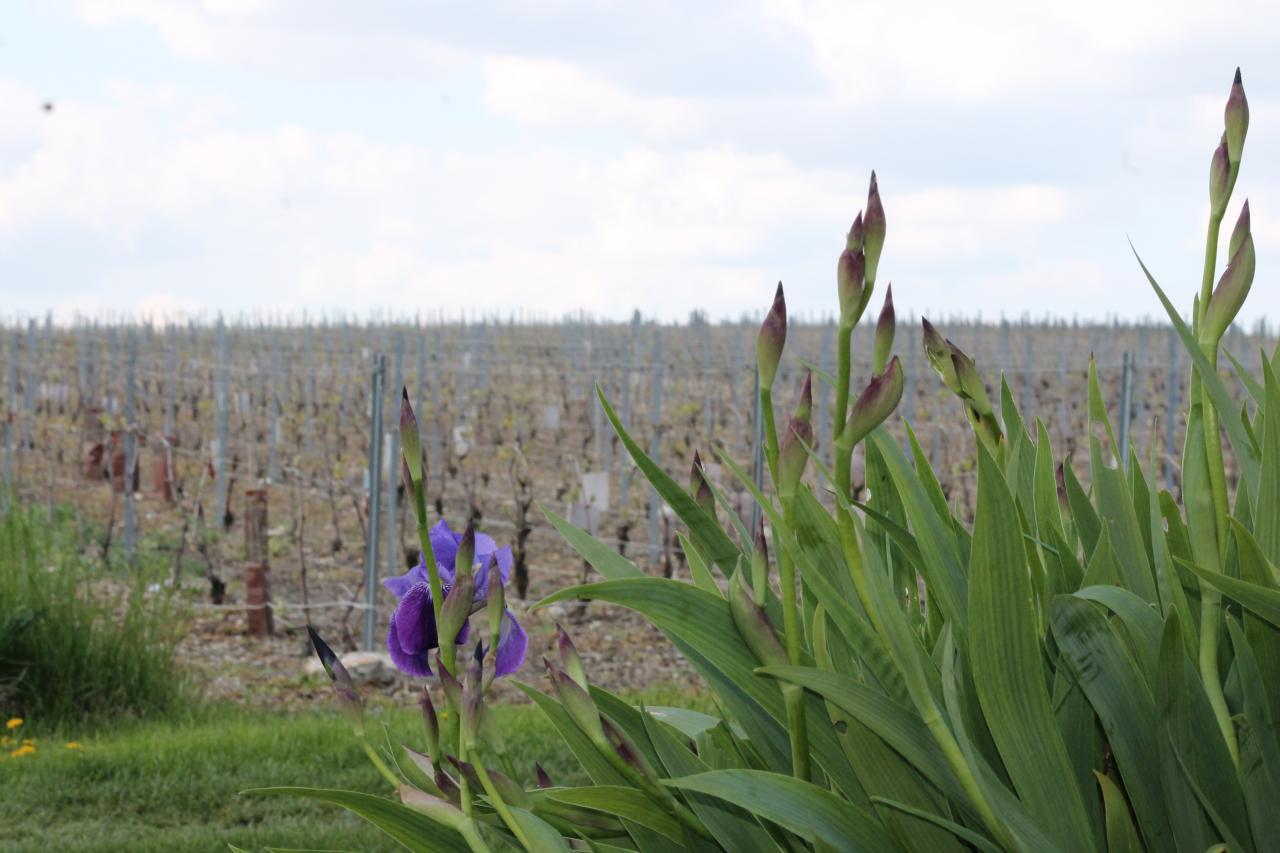 Les vignes (galipes)